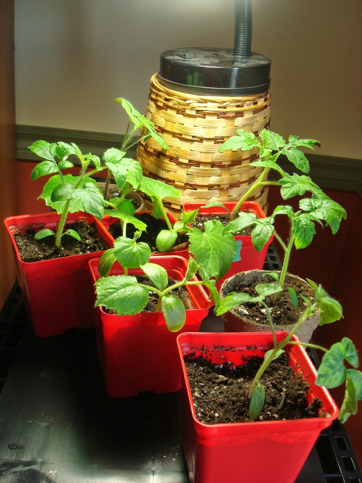 Les aiguilles au jardin au potager en 2014 - Acheter de la paille pour jardin ...