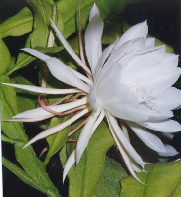 Hoa quỳnh 14