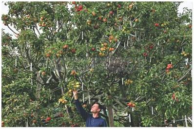 Pokok Apple Yang Pelik Ini Menghasilkan 250 Jenis Buah