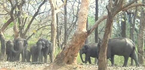 a herd of wild elephants with calves in Mudumalai National Park