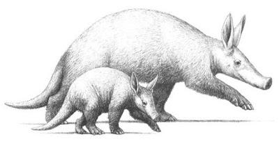 Tubulidentata prehistorico Myorycteropus