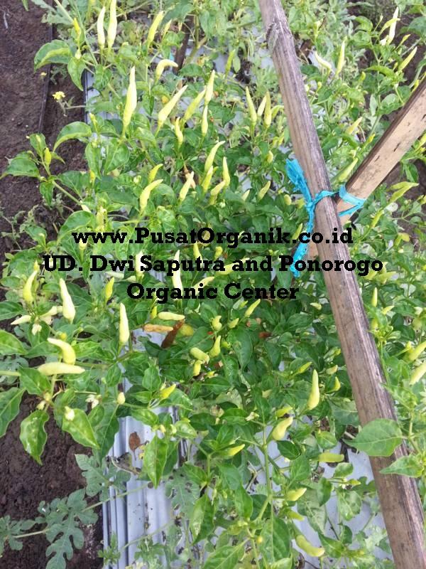 Panduan Lengkap dan Praktis Cara Budidaya Tomat