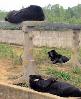 Những chú gấu đang nghỉ ngơi tại khu du lịch sinh thái trại bò