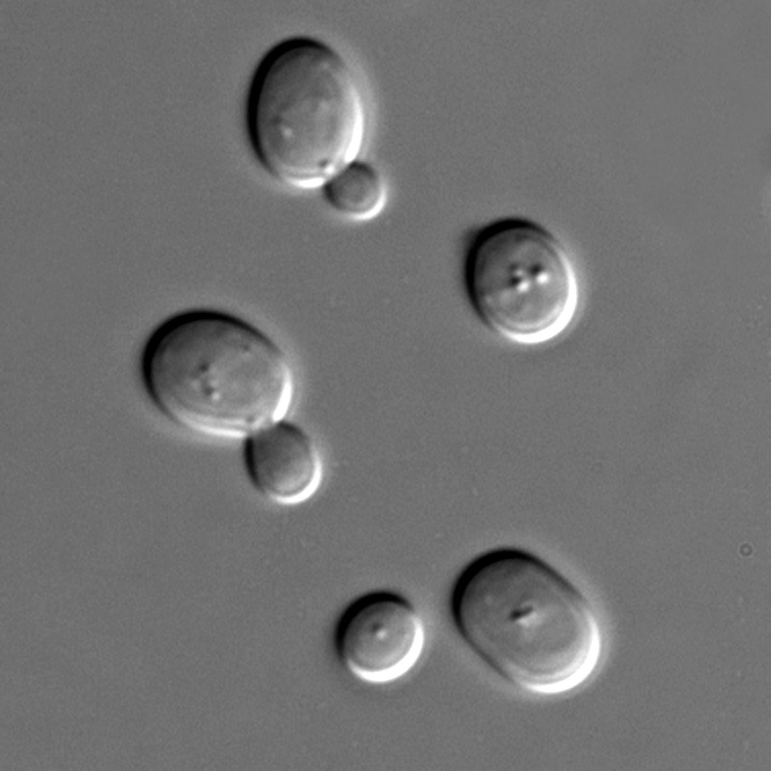 Saccharomyces sp