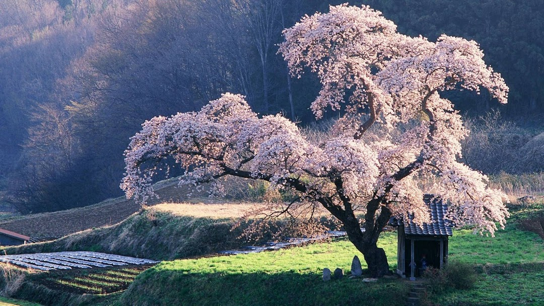 Blossoming Tree hd wallpaper