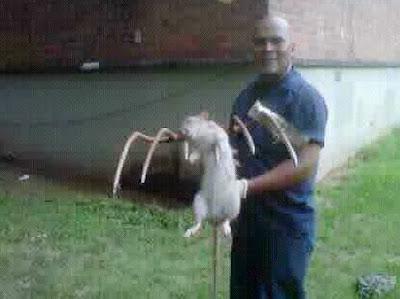 rata gambiana gigante muerta en nueva york 2011