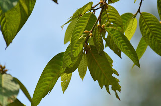 Ulmaceae