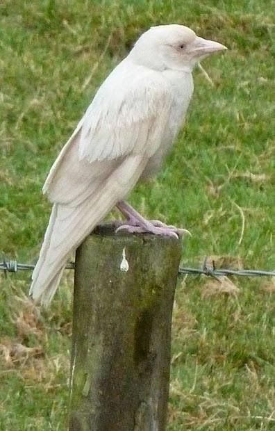 Corvo branco (albino)