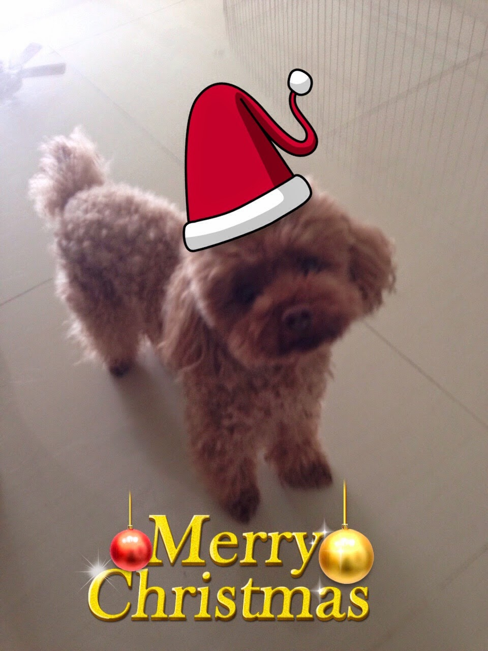 "Toy Poodle ""Seow Koh"" or ""Puppy"""