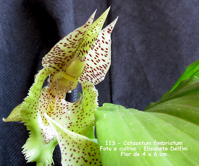 Catasetum fimbriatum - verde do blogdabeteorquideas