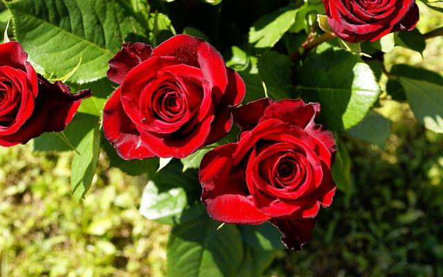Ảnh đẹp về hoa hồng đỏ