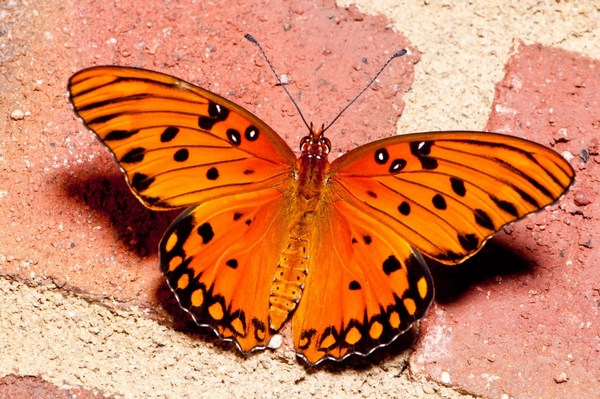 Yellow Butterfly Full HD Photos Download