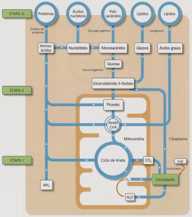 Introducción al Metabolismo - Página 2 Vision+global+del+metabolismo.Anabolismo