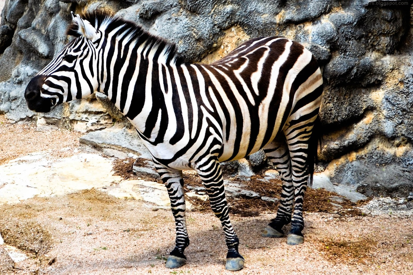 Beautiful desktop hd wallpapers 1080p zebra hd wallpapers for Zebra wallpaper