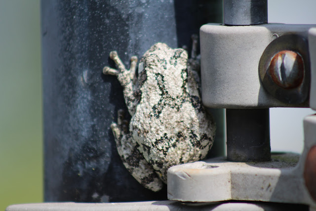 tree frog in massachusetts