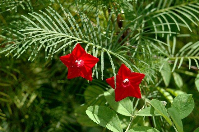 Flora ornamental de sri lanka 6
