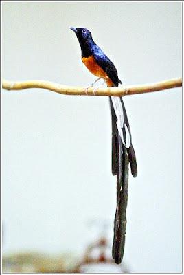 Murai Batu merupakan salah satu burung berkicau cerdas terbaik (dari