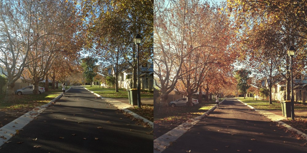 maple trees in claremont