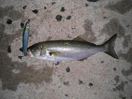 Pesca dalla spiaggia e le sue tecniche il pesce serra - Come cucinare il pesce serra ...