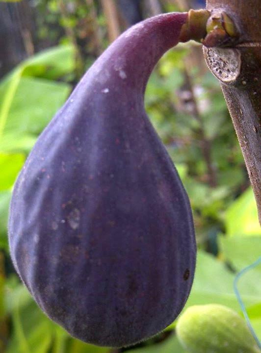 figs a laxative