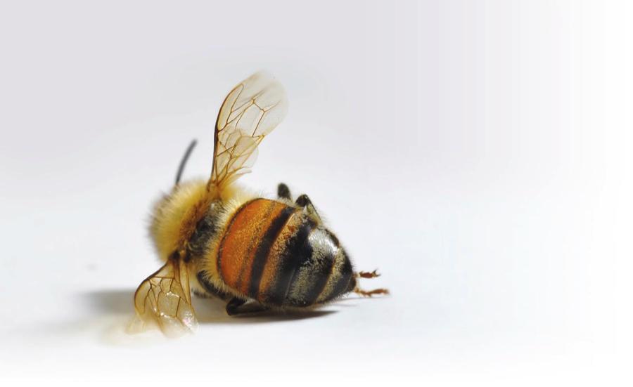 Kematian Mengejut Lebah Madu Dunia CCD