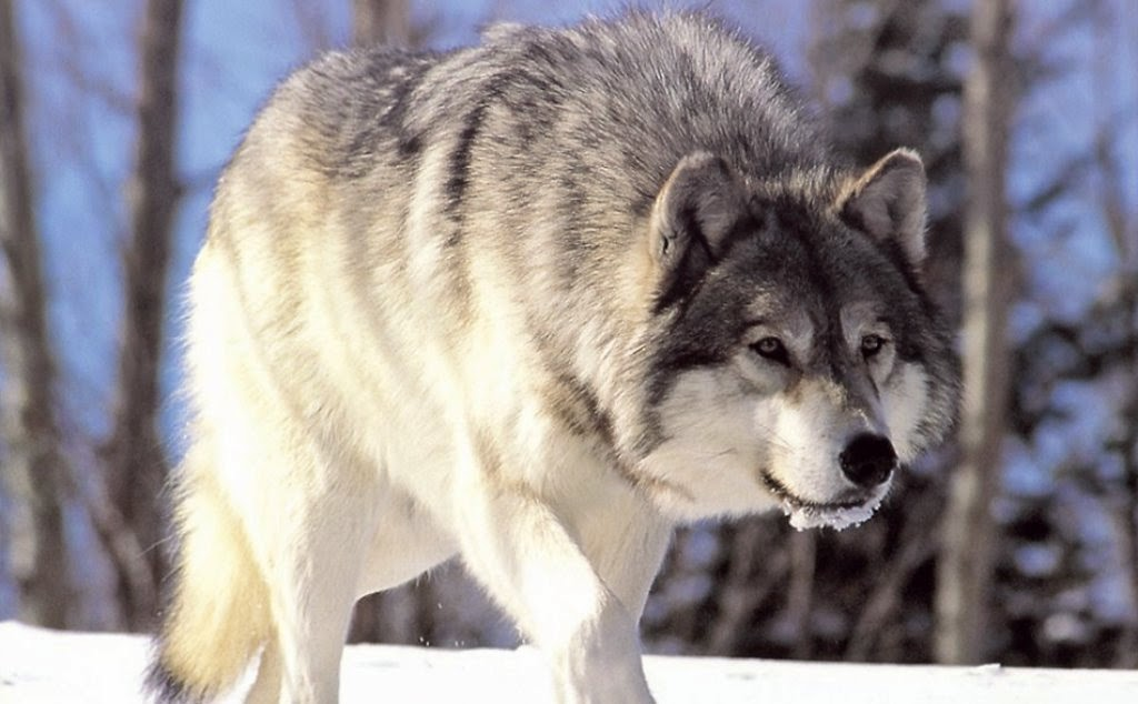 Lobo y biologia