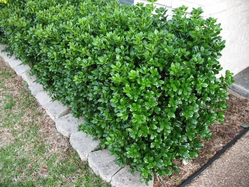 Mel liza hedge redo thanks a lot polar vortex for Types of bushes for landscaping