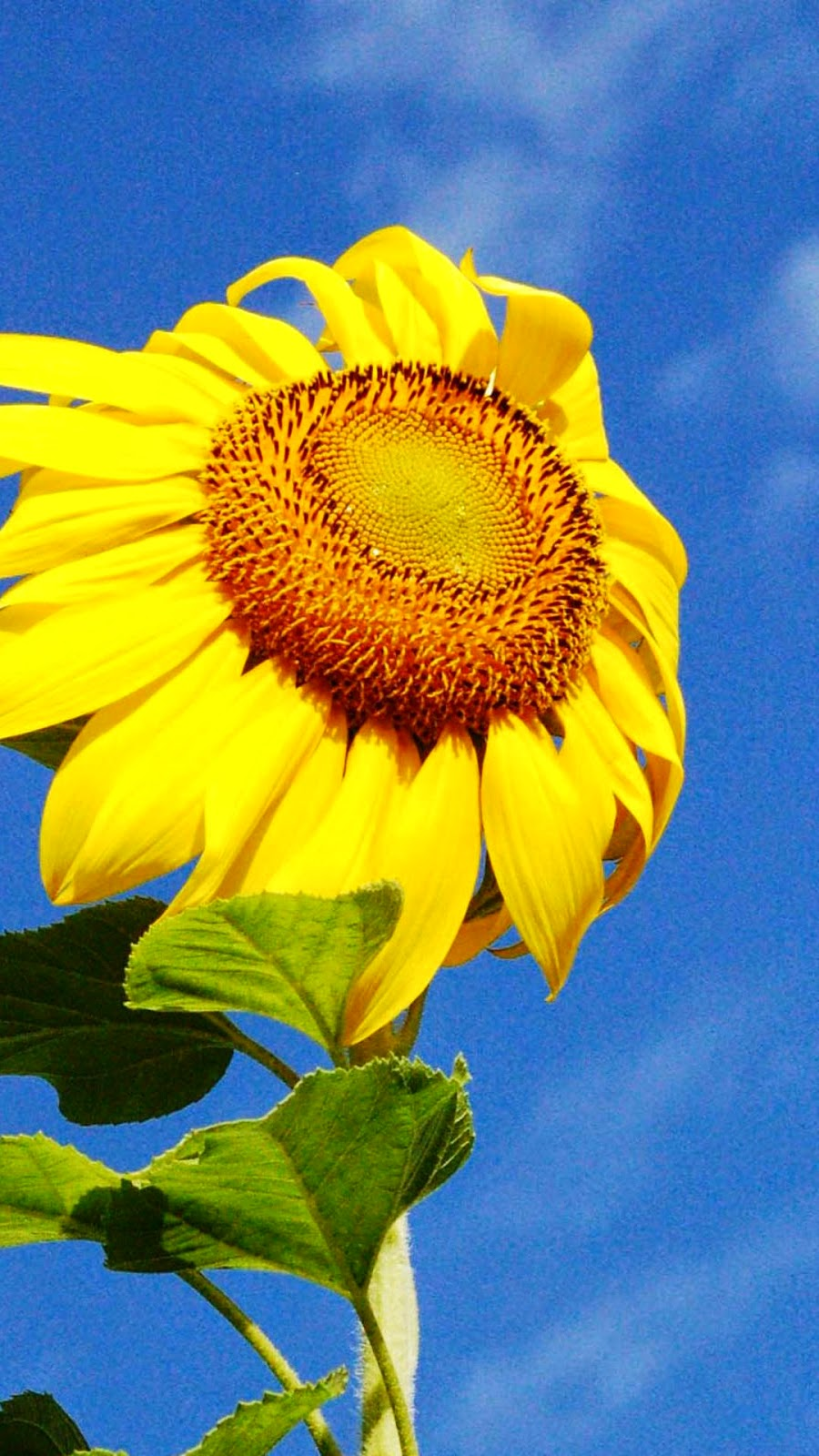 yellow sunflower iphone 6 wallpaper - iphone 6 wallpapers hd
