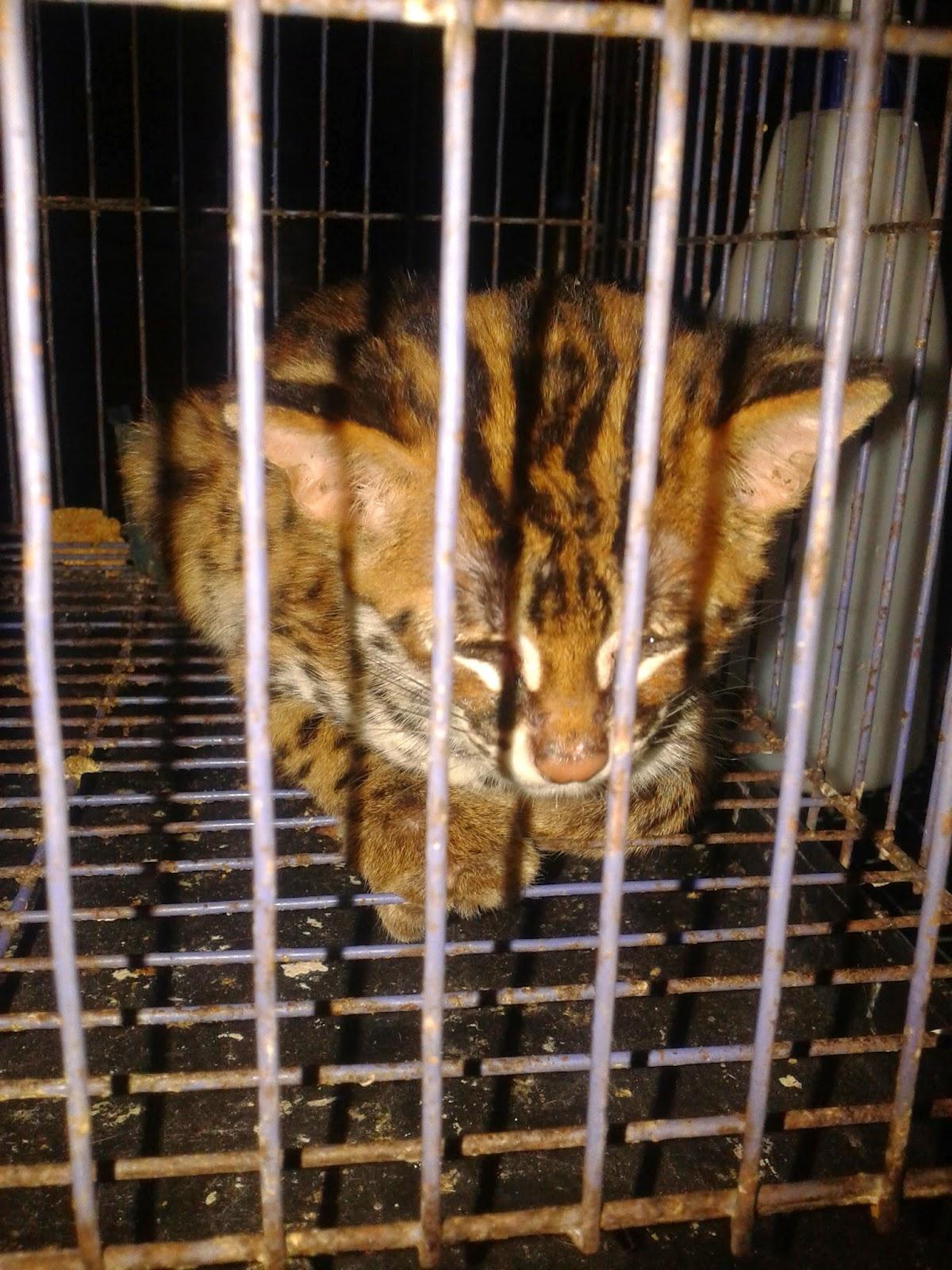 Alfredyansyah Jual Murah Kucing Hutan Blacan Macan Akar