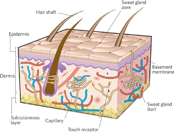The Incredible Human Skin Basic Concepts Of The Human Skin