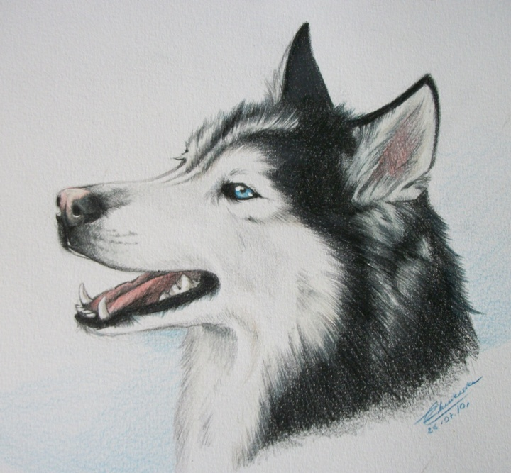 Husky Dog Drawing we Also Think The Drawing of The Husky Below is Really Good so we Uploaded