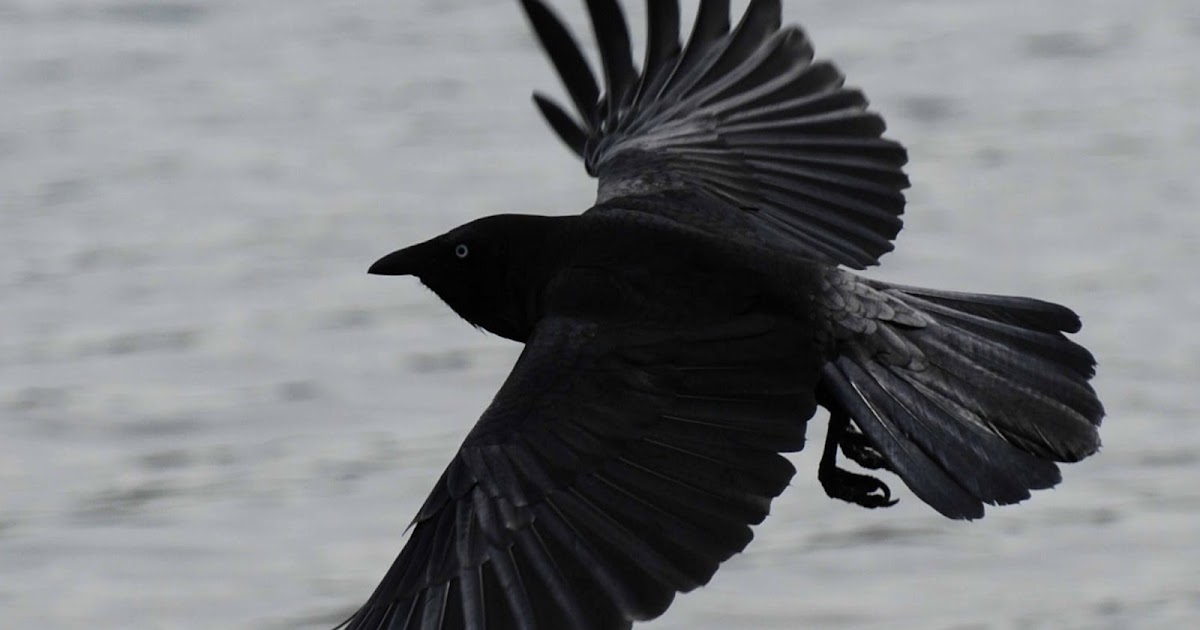 crow hd wallpapers