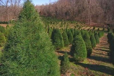 Christmas Tree Farm background