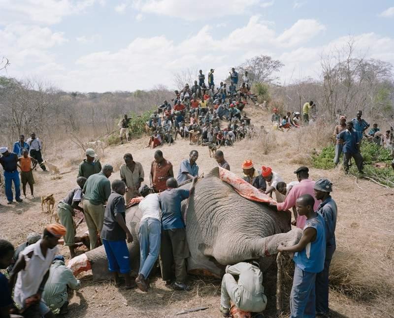 gajah-mati4