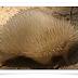 Australia: echidna Rare albino liberados en la naturaleza
