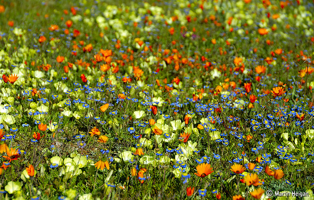 17 Best Flowers of Namaqualand images | News south africa ...