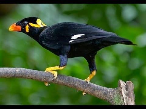 burung beo termahal didunia
