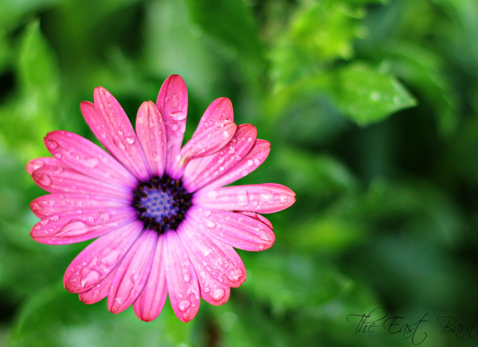 The East Barn Raindrops on Flowers