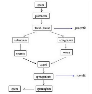 Wiku Hapsara`s Blog: [Gambar] - Metagenesis Tumbuhan Lumut