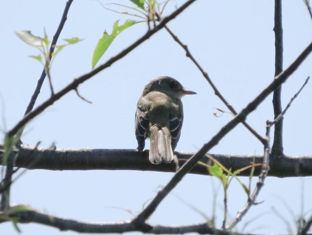 Empidonax Species - Jamaica Bay, New York