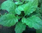 manfaat dan khasiat daun dewa