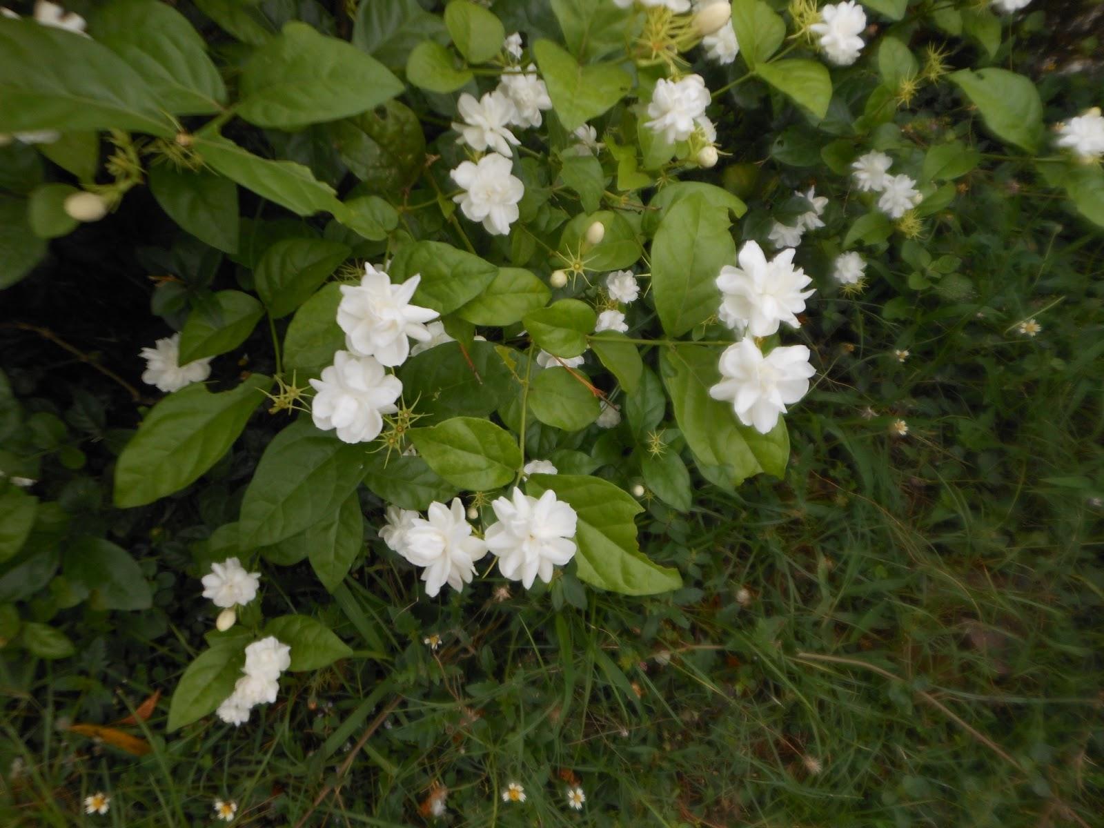 AMUSING WORLD Jasmine flowers in our garden