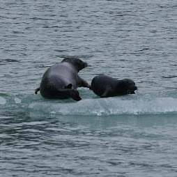 harbor seals on ice!