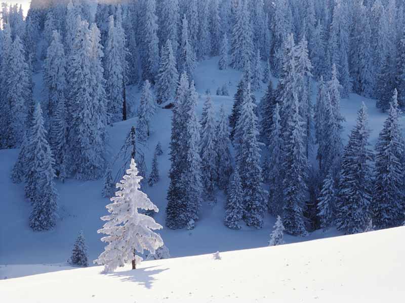 wallpaper tree snow winter - photo #47