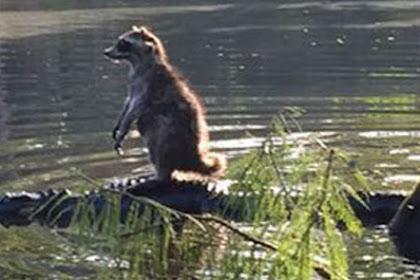 Seberangi Sungai, Rakun Ini Menumpang Aligator