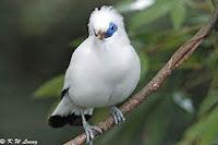 Burung Indonesia Jalak Bali