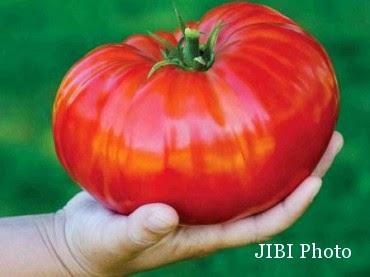 Buah Tomat Terbesar Di Dunia
