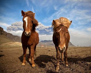 Caballos en Islandia: Todo lo que debes saber sobre el caballo Islandés