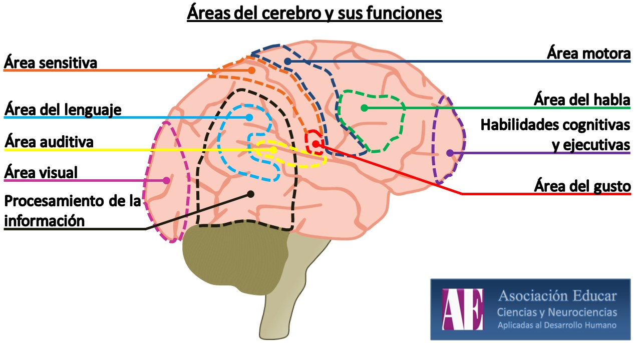 EMOCIONES Y CEREBRO - races