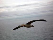 Gaviota que vuela libre